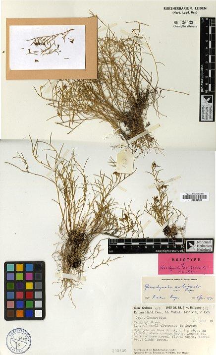 glossorhyncha ambricaulis.jpg