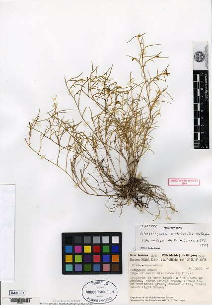 glossorhyncha ambricaulis2.jpg