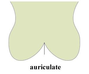 auricula.jpg