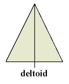 deltoid.jpg