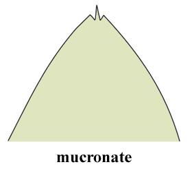 mucron~1.jpg