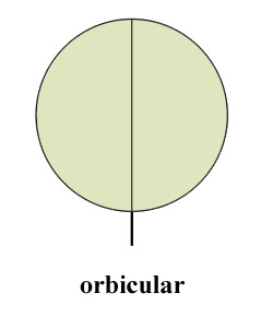 orbicula.jpg