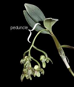 peduncle.jpg
